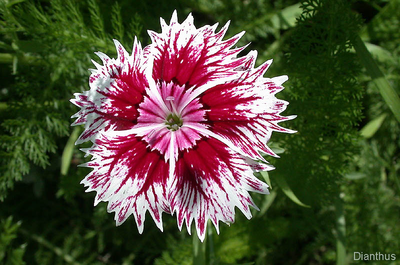 Top 28 Images Of Flowers File A Daisy Flower Jpg